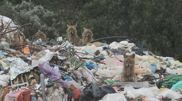 VIDEO: Gozba čagljeva pred samim vratima Siska i na Pelješcu gdje caruju na smetištima u blizini autokampova