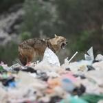 VIDEO: Gozba čagljeva pred samim vratima Siska i na Pelješcu gdje caruju na smetištima u blizini autokampova (foto: romeo ibrišević)