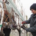 Berba zimska u Vinariji Tržec, nije čudo da graševina prevladava kod ledenog vina i izborne berbe prosušenih bobic (foto: romeo ibrišević)