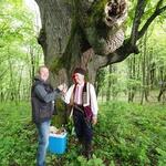 VIDEO Ona nije najstarija, ali je najveća lipa, a i drvo u Hrvatskoj obujma 9,17 m, a tek joj je 400. Lipe uskoro cvatu i sve je isto k'o i lani (foto: Romeo Ibrišević)