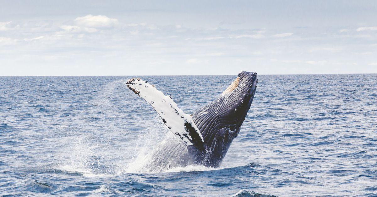 Čovjeku koji je iz stiska mreže spasio zapetljano kitovo mlado prijeti kazna od 27.000 dolara!