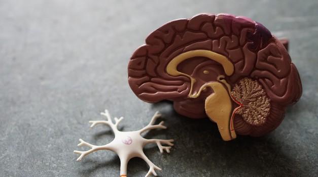 ISTRAŽIVANJE: Ljudski mozak kroz evoluciju raste te postaje veći