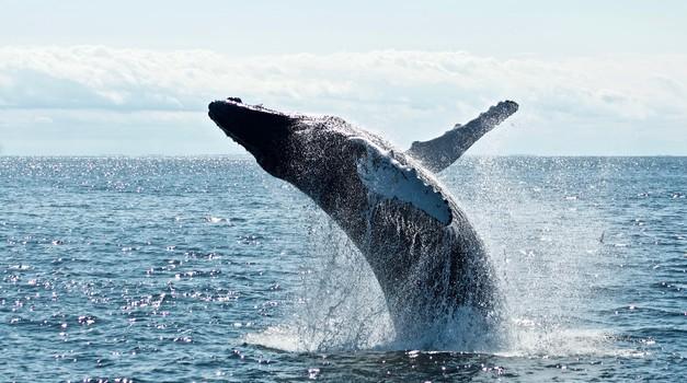 Veliki broj sivih kitova gladuje i umire na Tihom oceanu